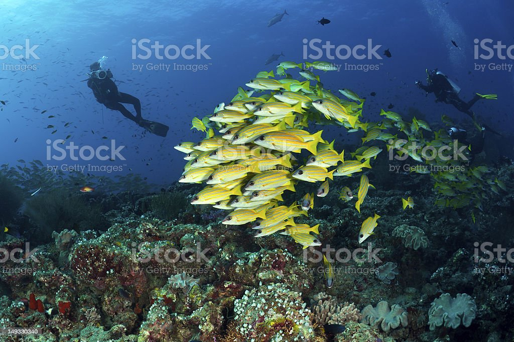 divers and  school of blue striped snappers, Maldives stock photo