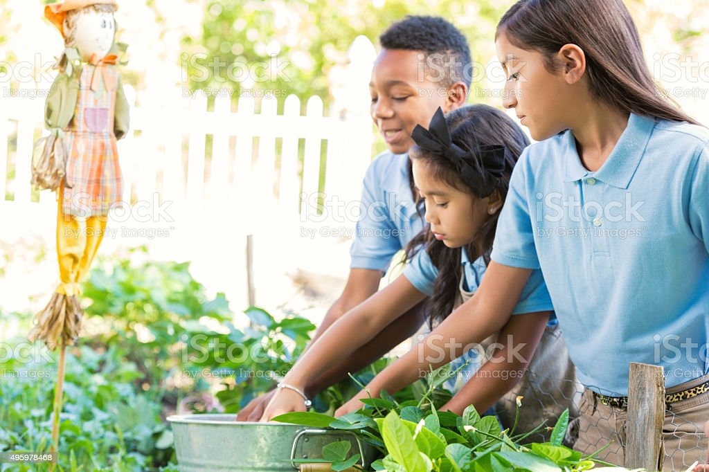 Diverse elementary students picking vegetables during farm field trip stock photo