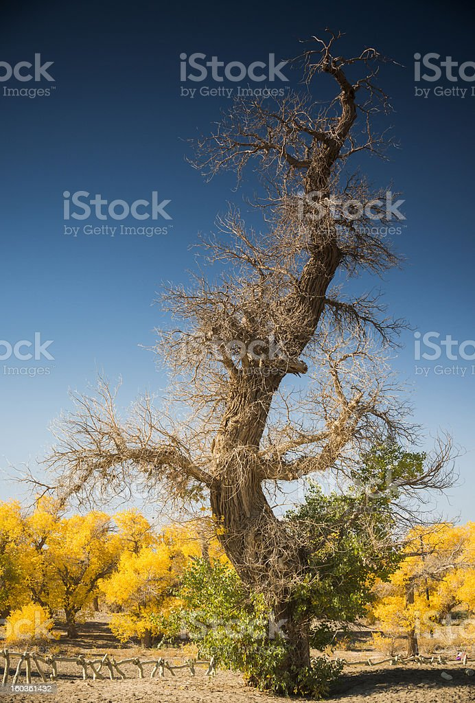 Diversifolious poplar royalty-free stock photo