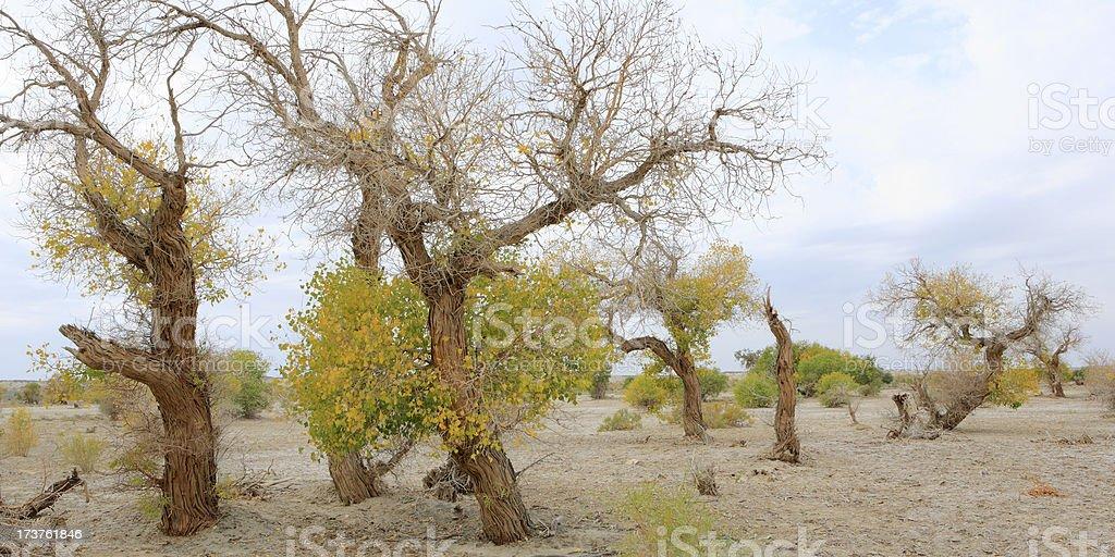 Diversiform-Leaved Poplar royalty-free stock photo