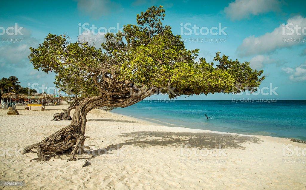 Divi divi tree on Eagle Beach, Aruba stock photo