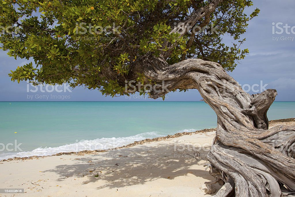 Divi Tree Aruba stock photo