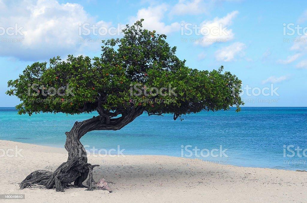 Divi tree on Eagle Beach in Aruba stock photo