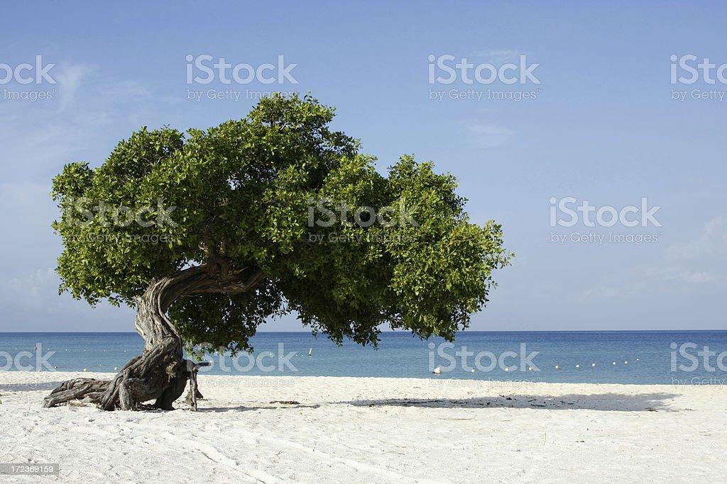 Dividivi tree Aruba # 1 royalty-free stock photo