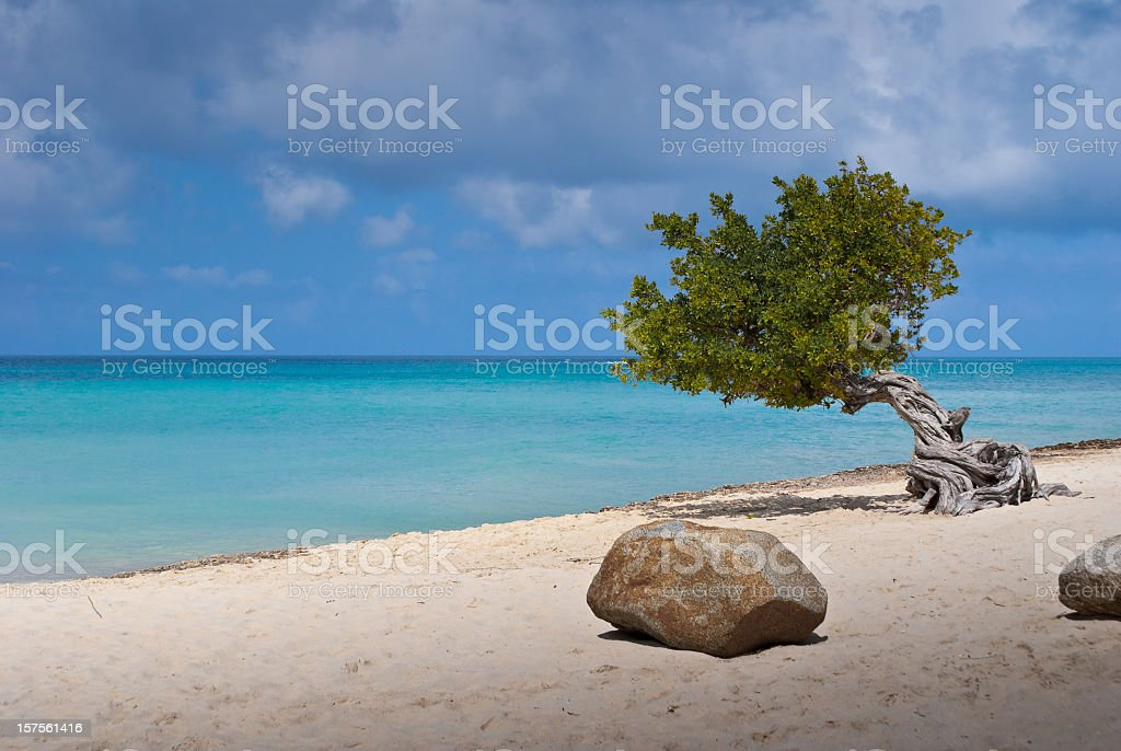 Divi-divi Tree on Aruba Beach stock photo