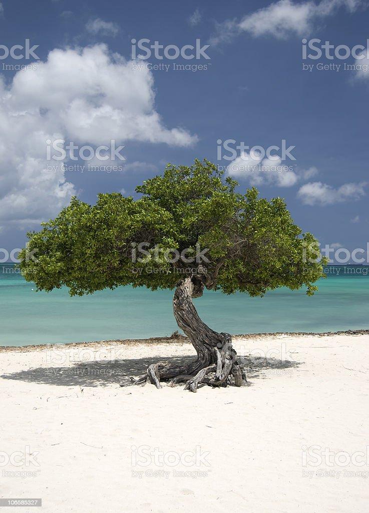 Divi-Divi Tree stock photo