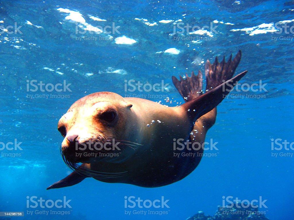 Divin' Sea Lion stock photo
