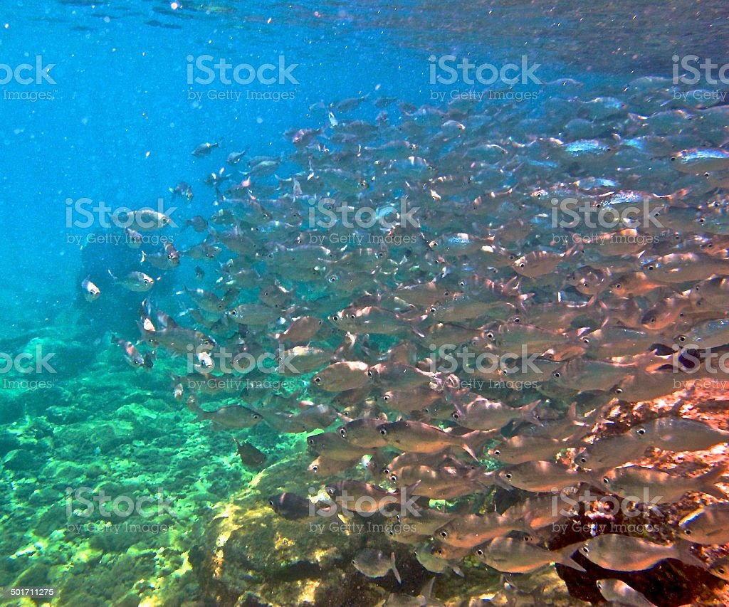 Diving Among a School of Hawaiian  Fish stock photo
