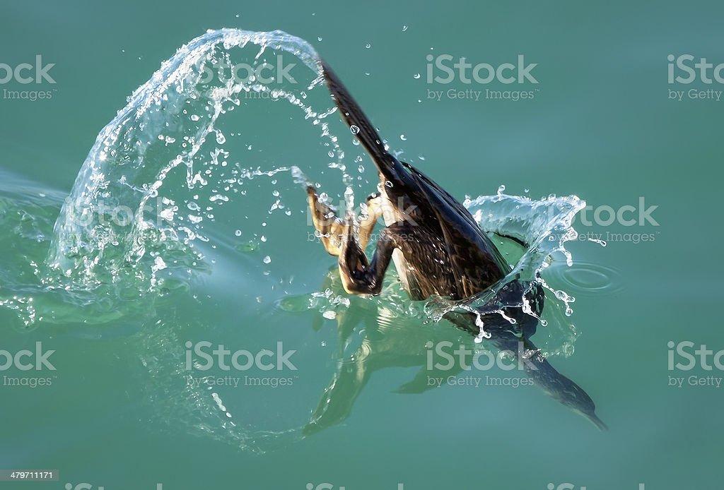 Diving cormorant stock photo