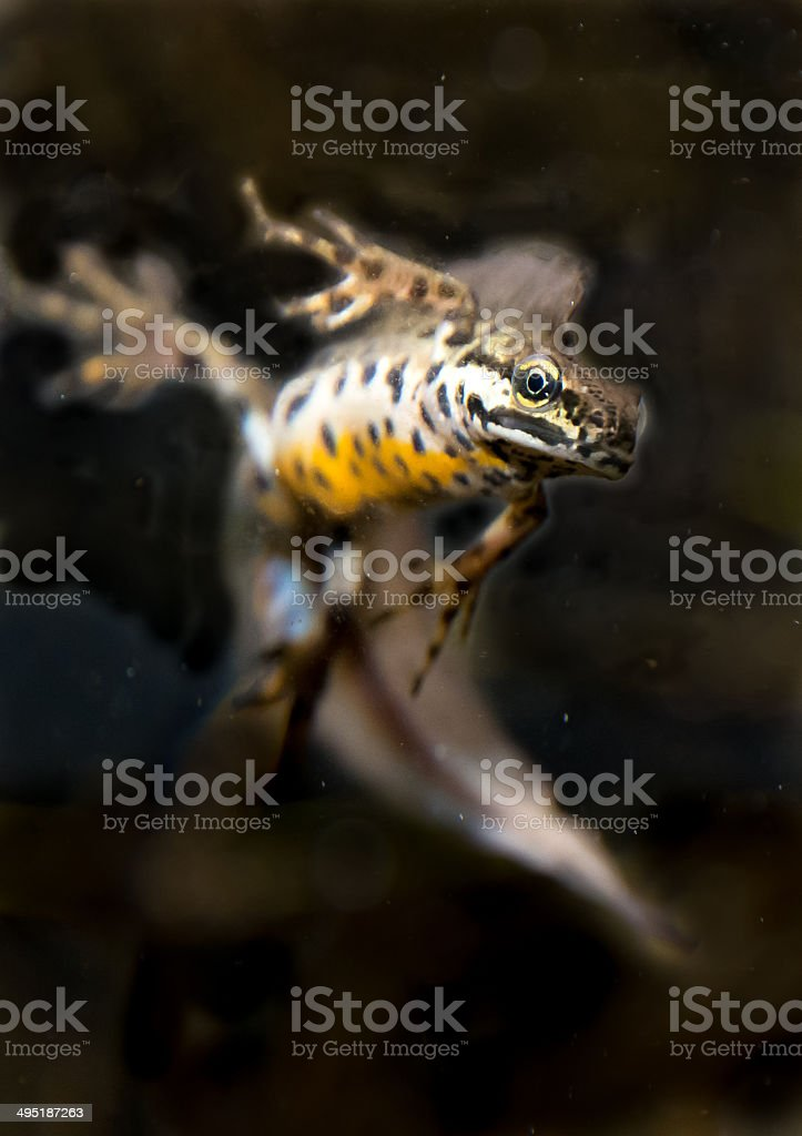 Diving curious newt stock photo