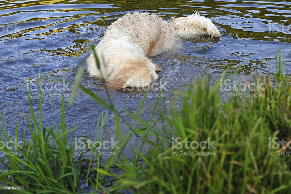 Diving Golden Retriever royalty-free stock photo