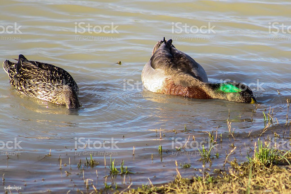 Diving Mallard Ducks stock photo