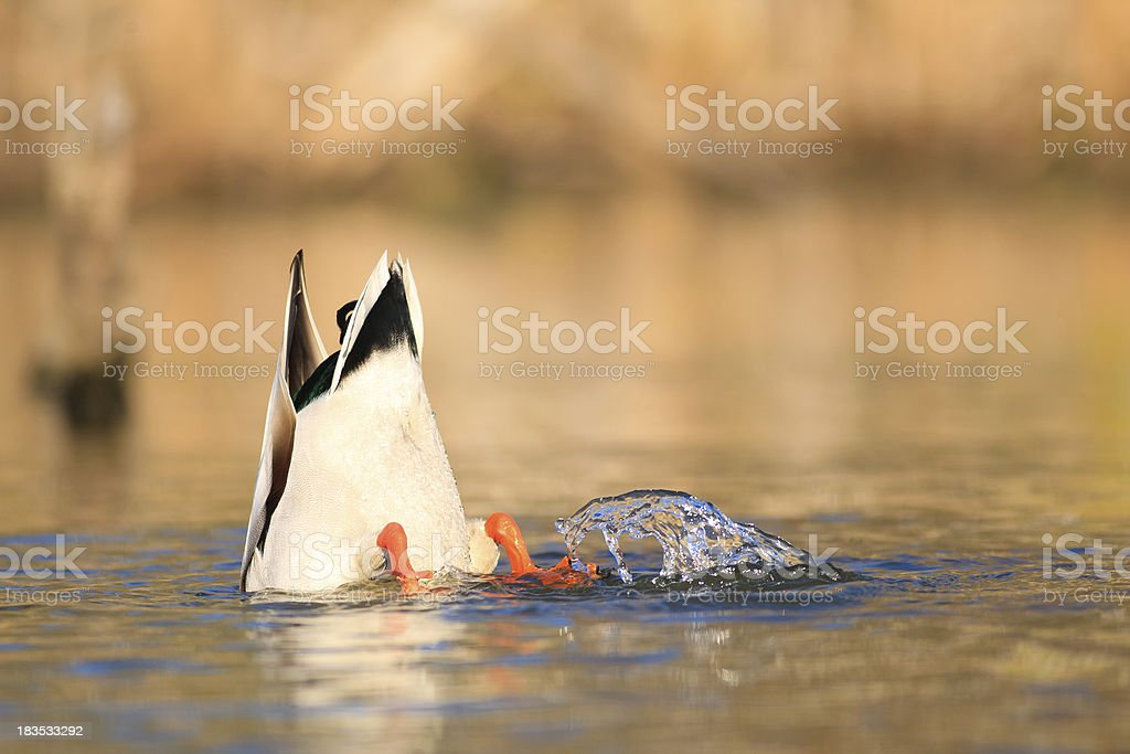 Diving Mallard stock photo