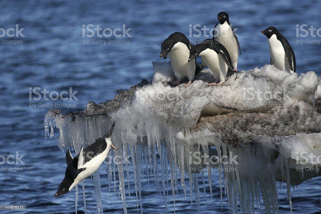Diving Penguin stock photo