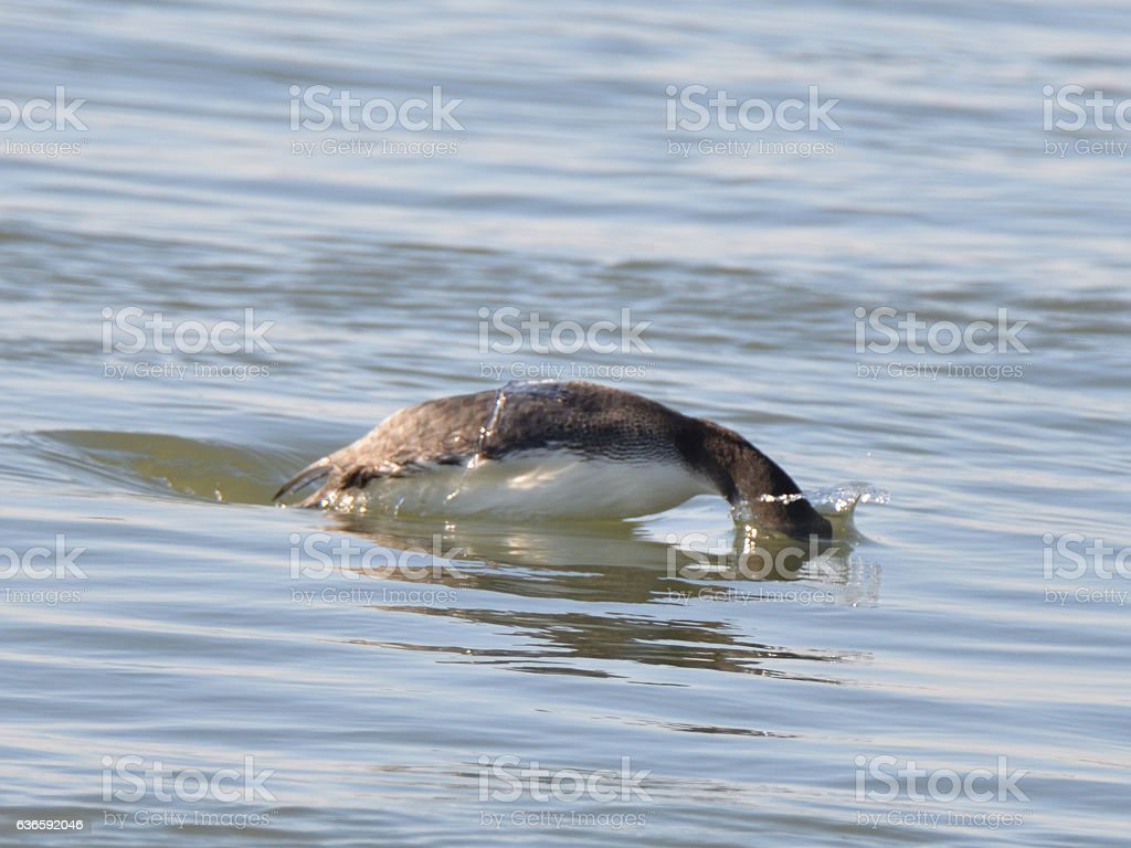 Diving Red-breasted Merganser stock photo