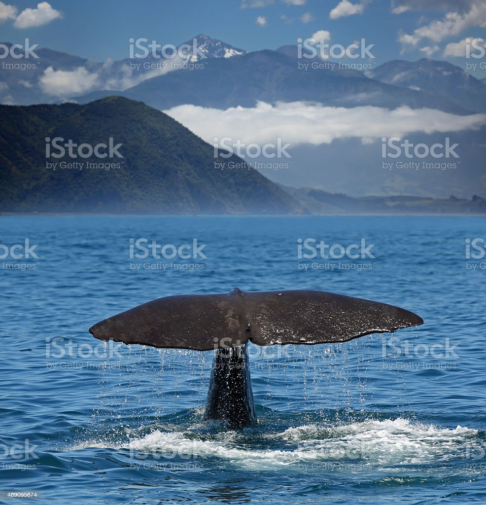 Diving Sperm whale near coastline of Kaikoura (New Zealand) stock photo