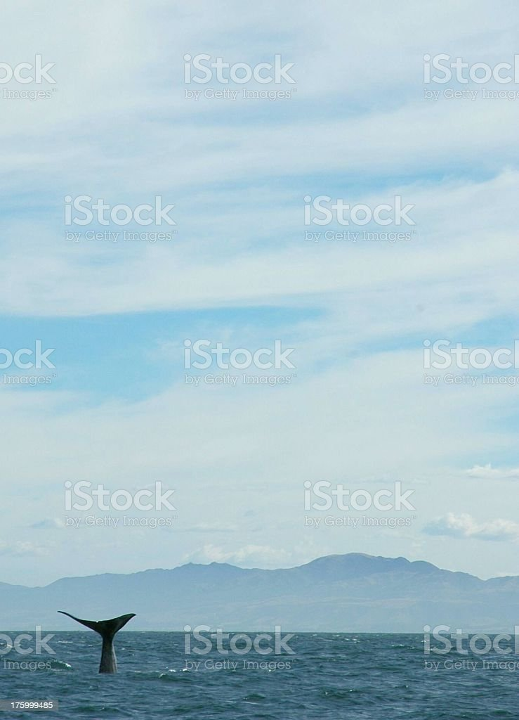 Diving Sperm whale stock photo