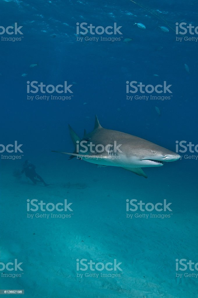 SCUBA diving with lemon sharks stock photo