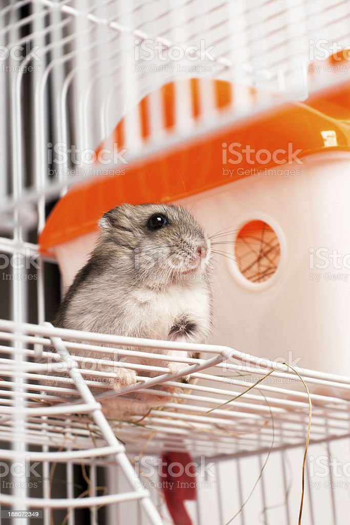 Djungarian hamster in a cage stock photo