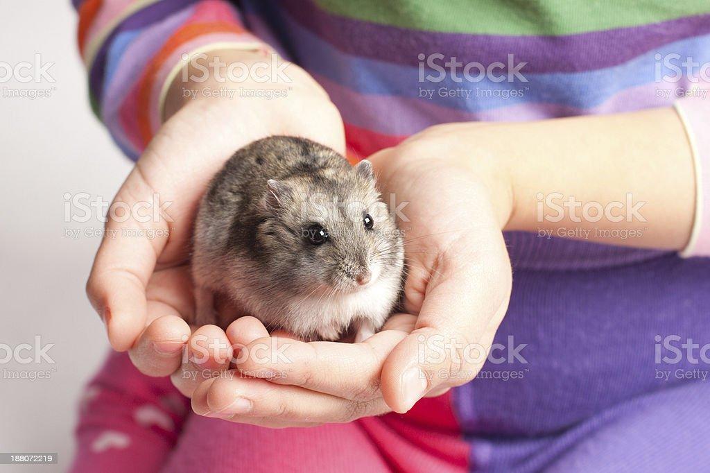 Djungarian hamster in girl hand stock photo