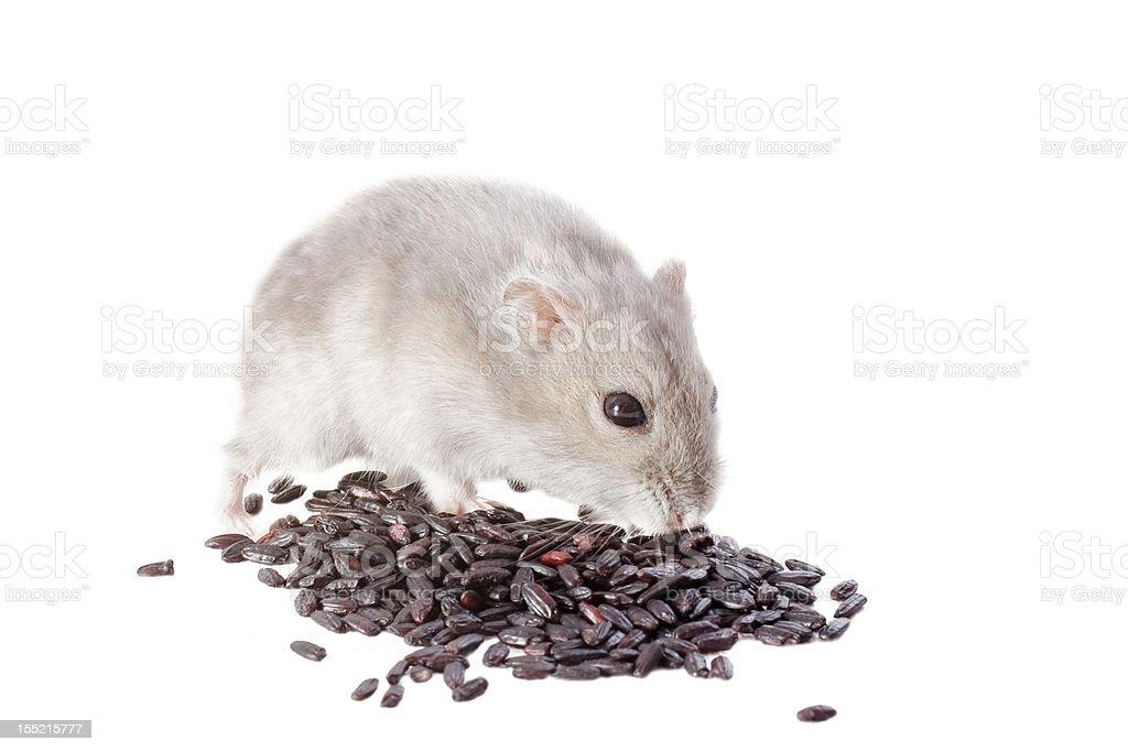 Djungarian hamster stock photo