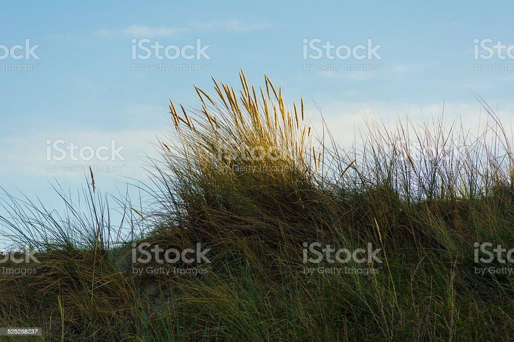 Dünengras stock photo