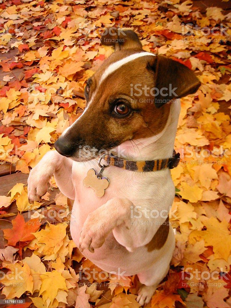 Do I smell pumpkin pie? royalty-free stock photo