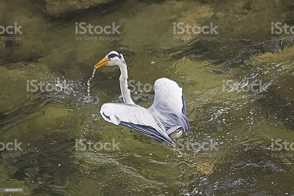 Do you want to be a duck? stock photo