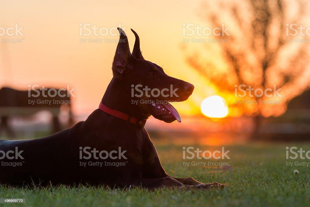 Doberman dog puppy stock photo