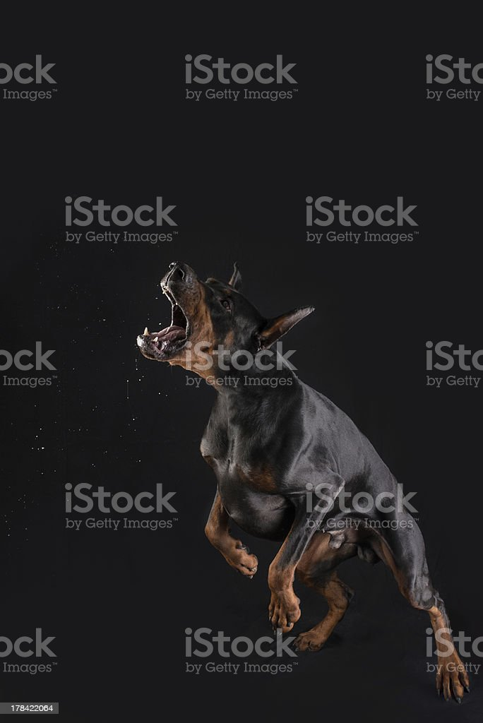 Doberman is attacking and barking stock photo