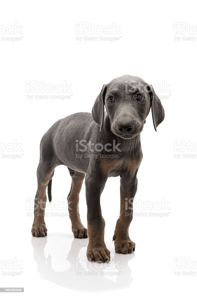 doberman royalty-free stock photo