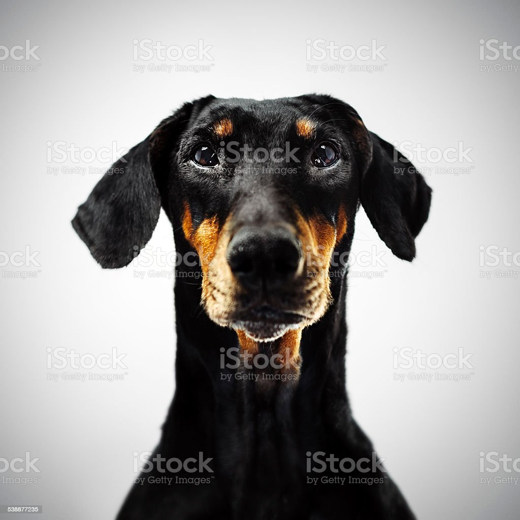 Dobermann stock photo
