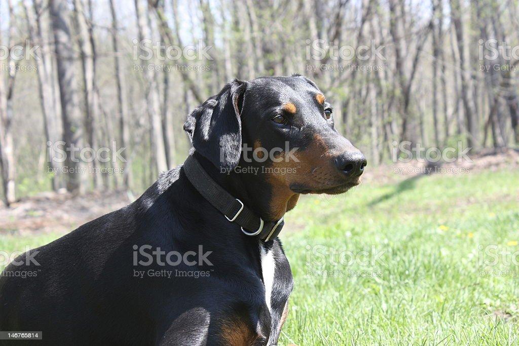 Doberman Pincher Dog stock photo