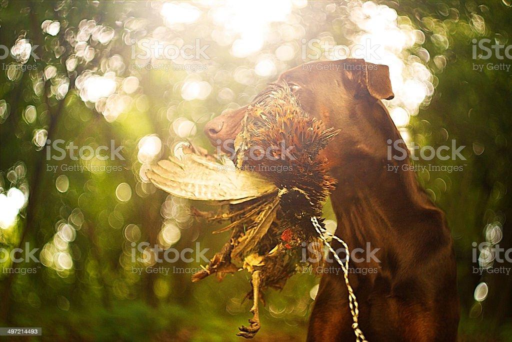 doberman pinscher dog hunting with pheasant bird stock photo