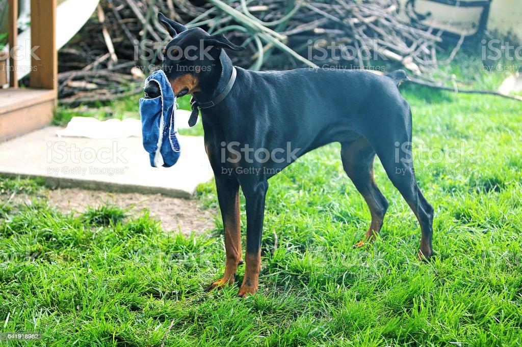 Doberman Pinscher Dog with Underwear stock photo