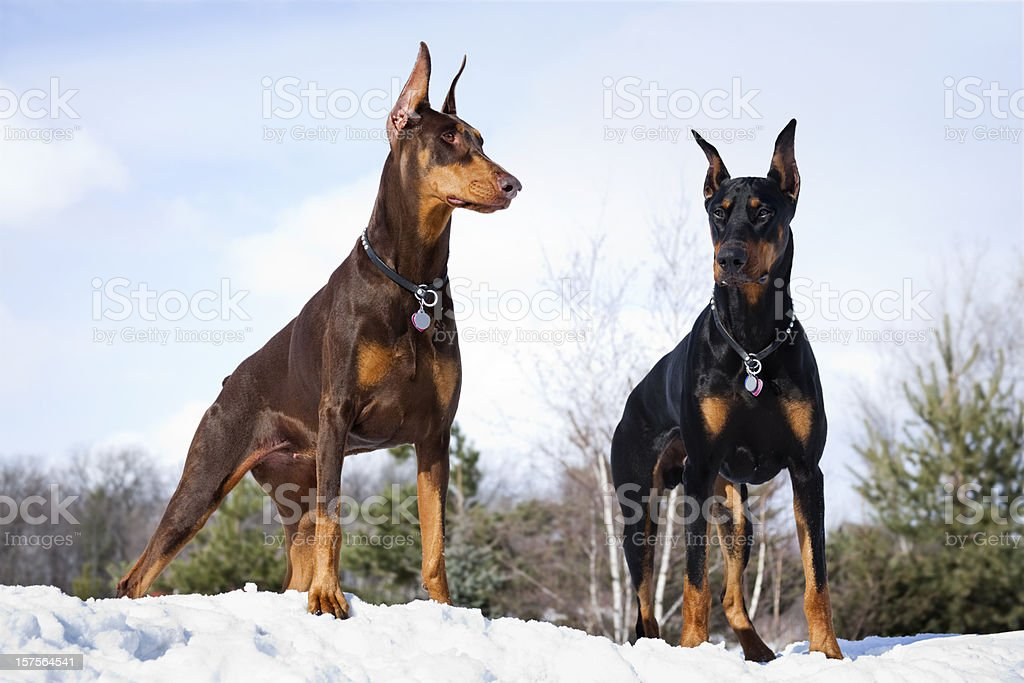 Doberman Pinscher Dogs Outdoors in Winter Snow; Strong Intelligent, Noble stock photo