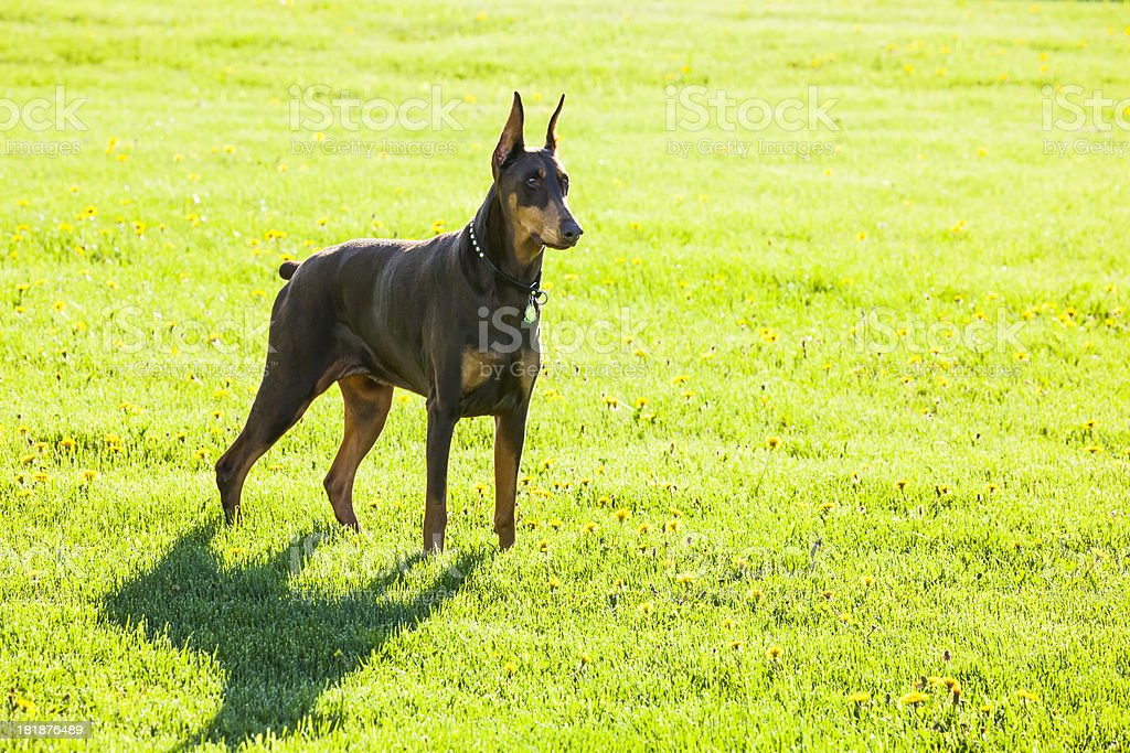 Doberman Pinscher Guard Dog Standing At Attention stock photo