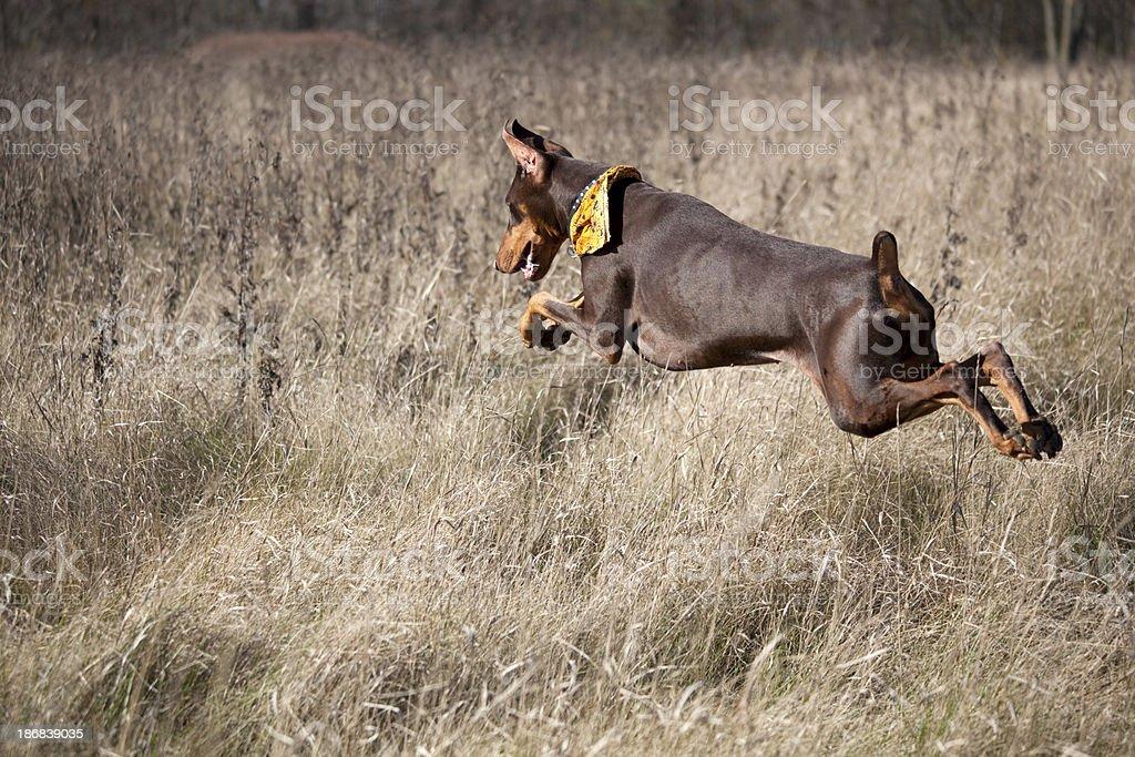 Doberman Pinscher Hunting Dog Runs, Jumps, Flies Above Autumn Fields royalty-free stock photo