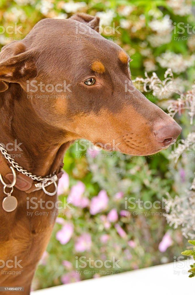 Doberman Pinscher loves the garden smells stock photo