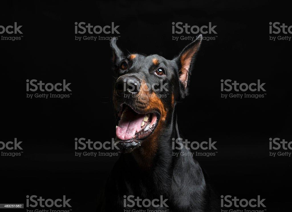 Doberman pinscher portrait on black background stock photo