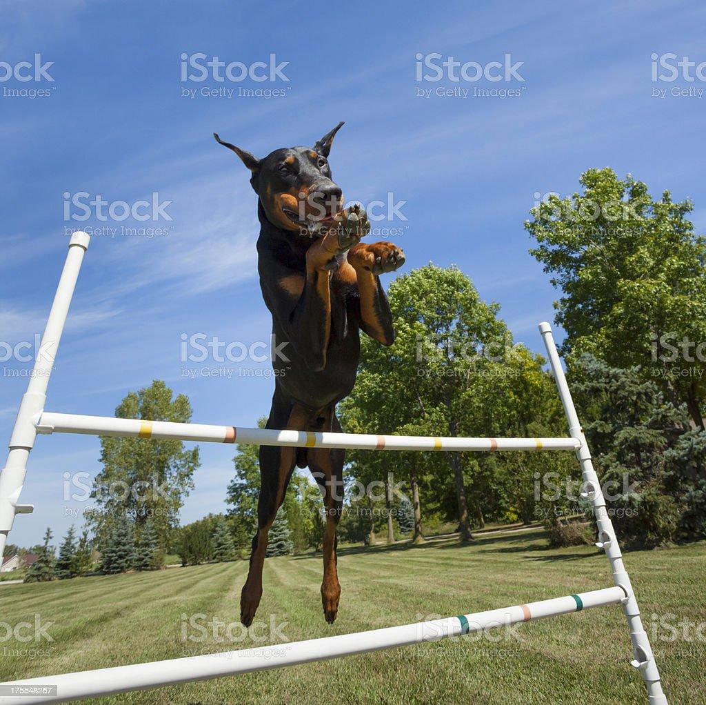 Doberman Pinscher Practicing Agility, Jumping Over High Bar stock photo