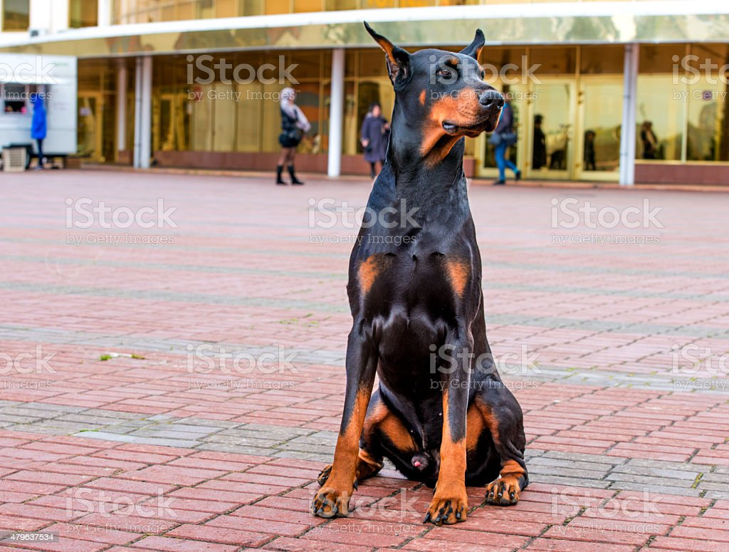 Doberman Pinscher right side. stock photo