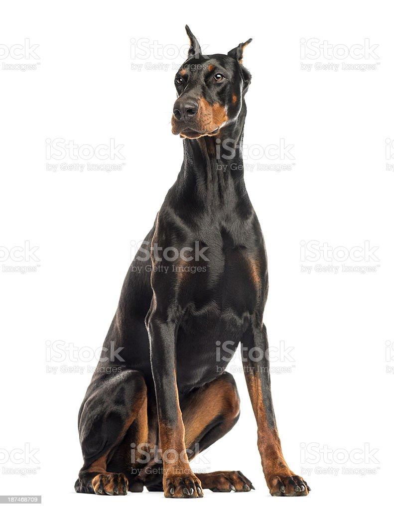 Doberman Pinscher sitting, looking away, isolated on white stock photo