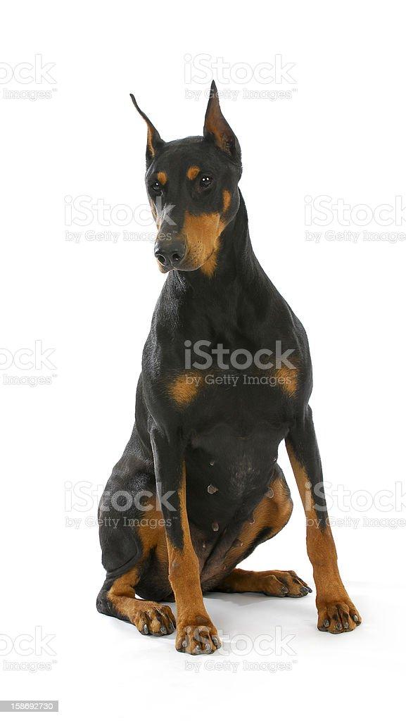 doberman pinscher sitting stock photo