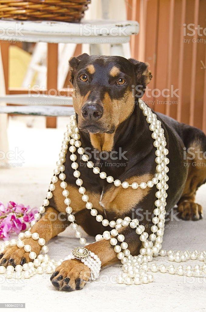 Doberman Pinscher with Pearls stock photo