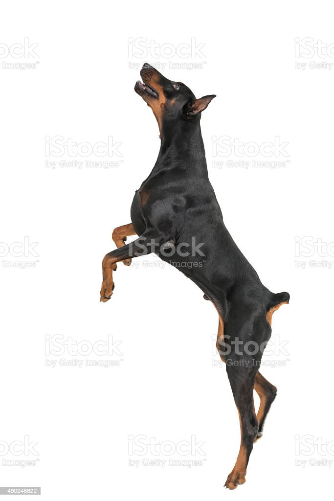 Doberman pinsher jumping on white background stock photo