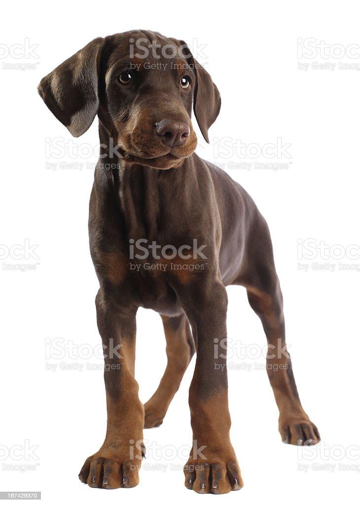 Doberman puppy isolated on white stock photo