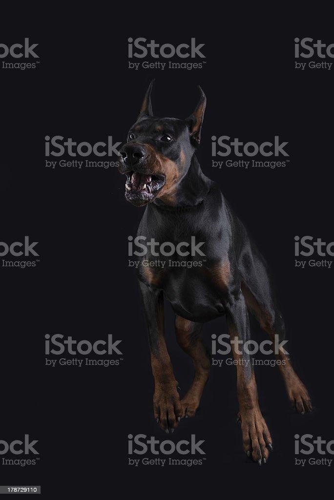Doberman ready to attack stock photo