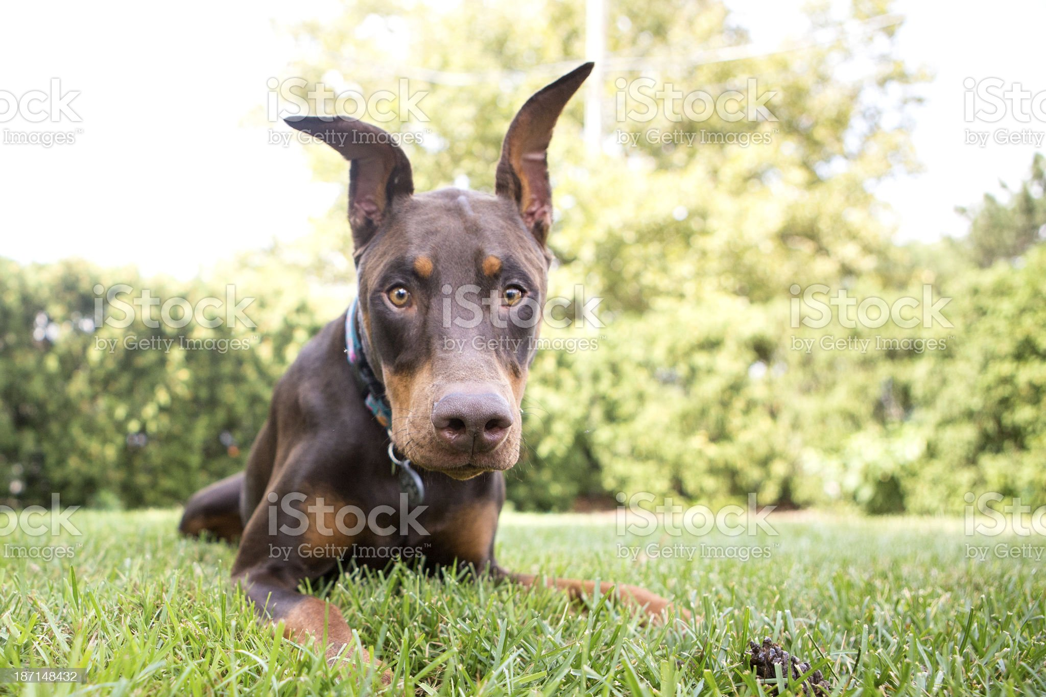 Doberman red royalty-free stock photo