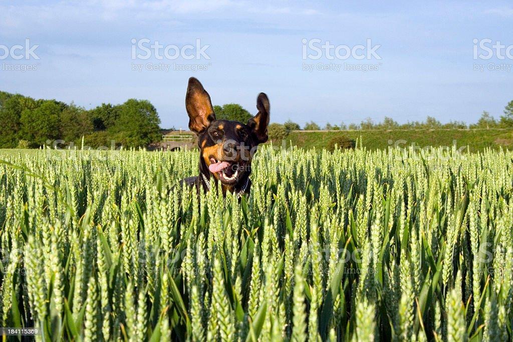 Doberman running in field of corn - 003 series royalty-free stock photo
